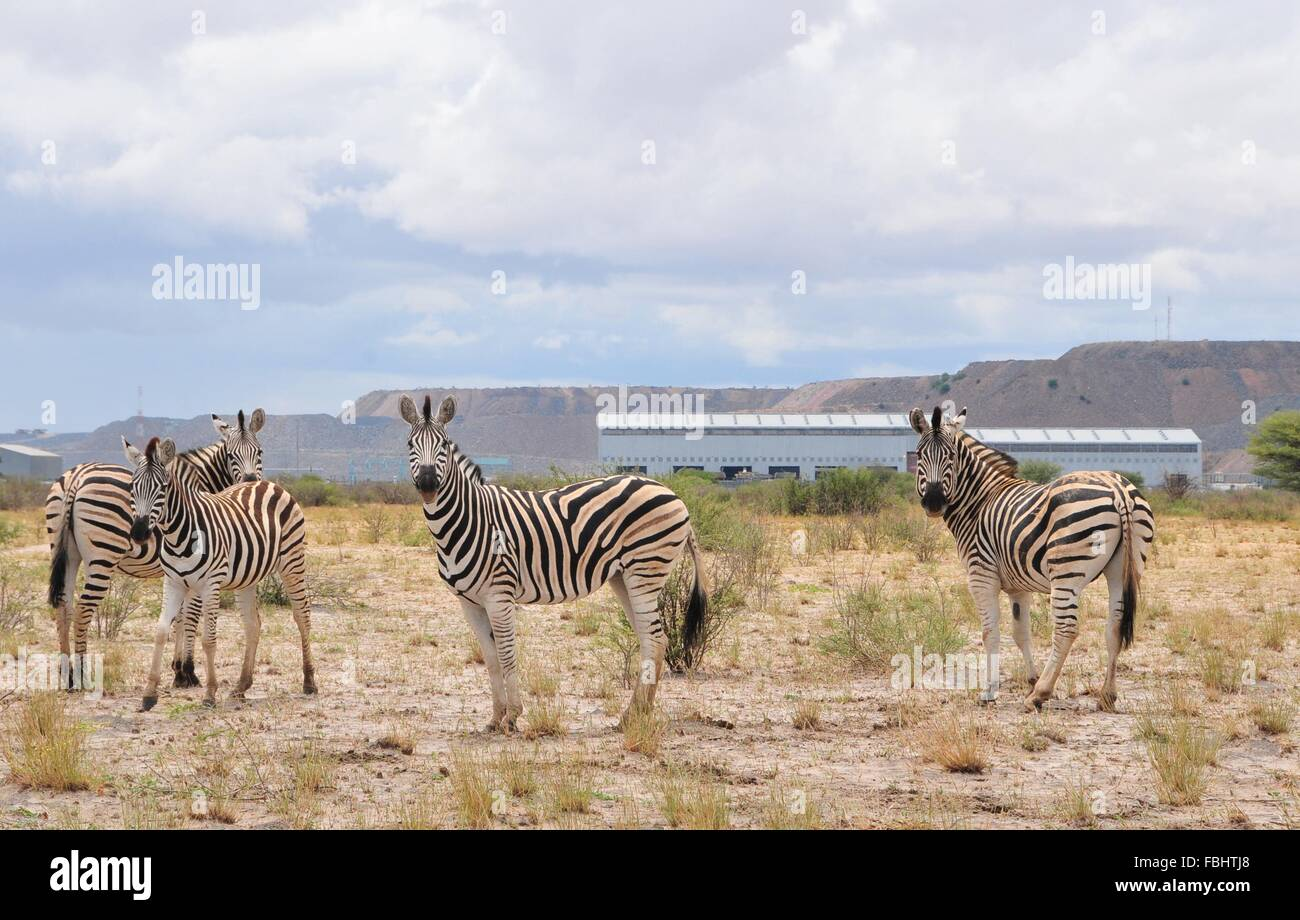 Jwaneng, Botswana. 16th Jan, 2016. A group of zebras are seen in Jwana Game Park within the boundaries of the Jwaneng Stock Photo