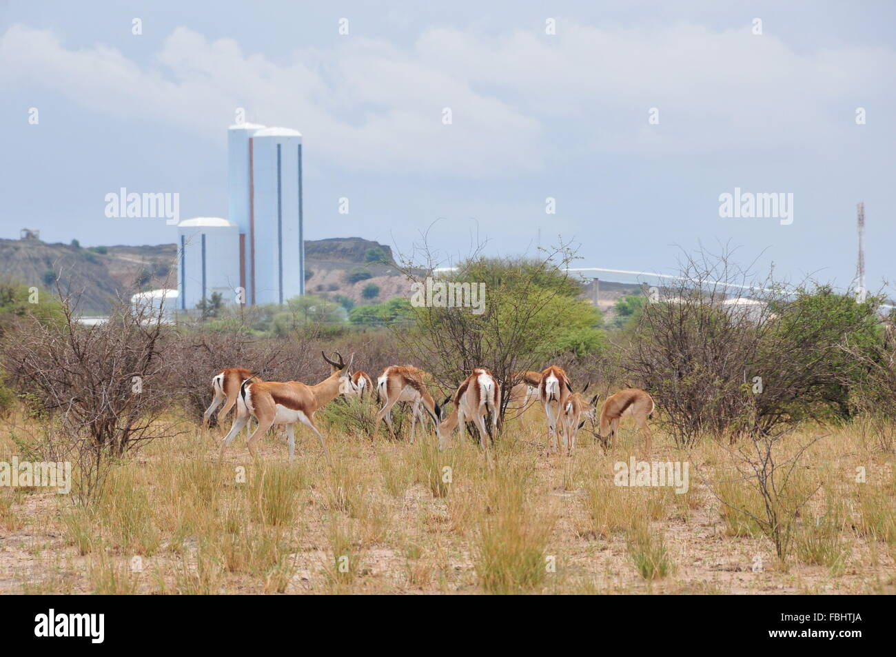 Jwaneng, Botswana. 16th Jan, 2016. A group of sprinboks are seen in Jwana Game Park within the boundaries of the - Stock Image