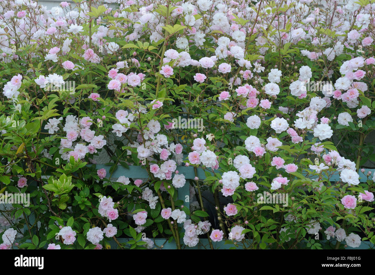 Flowering Rambling Rose (David Austin) on trellis in garden, Bentley, Suffolk, June 2013 - Stock Image