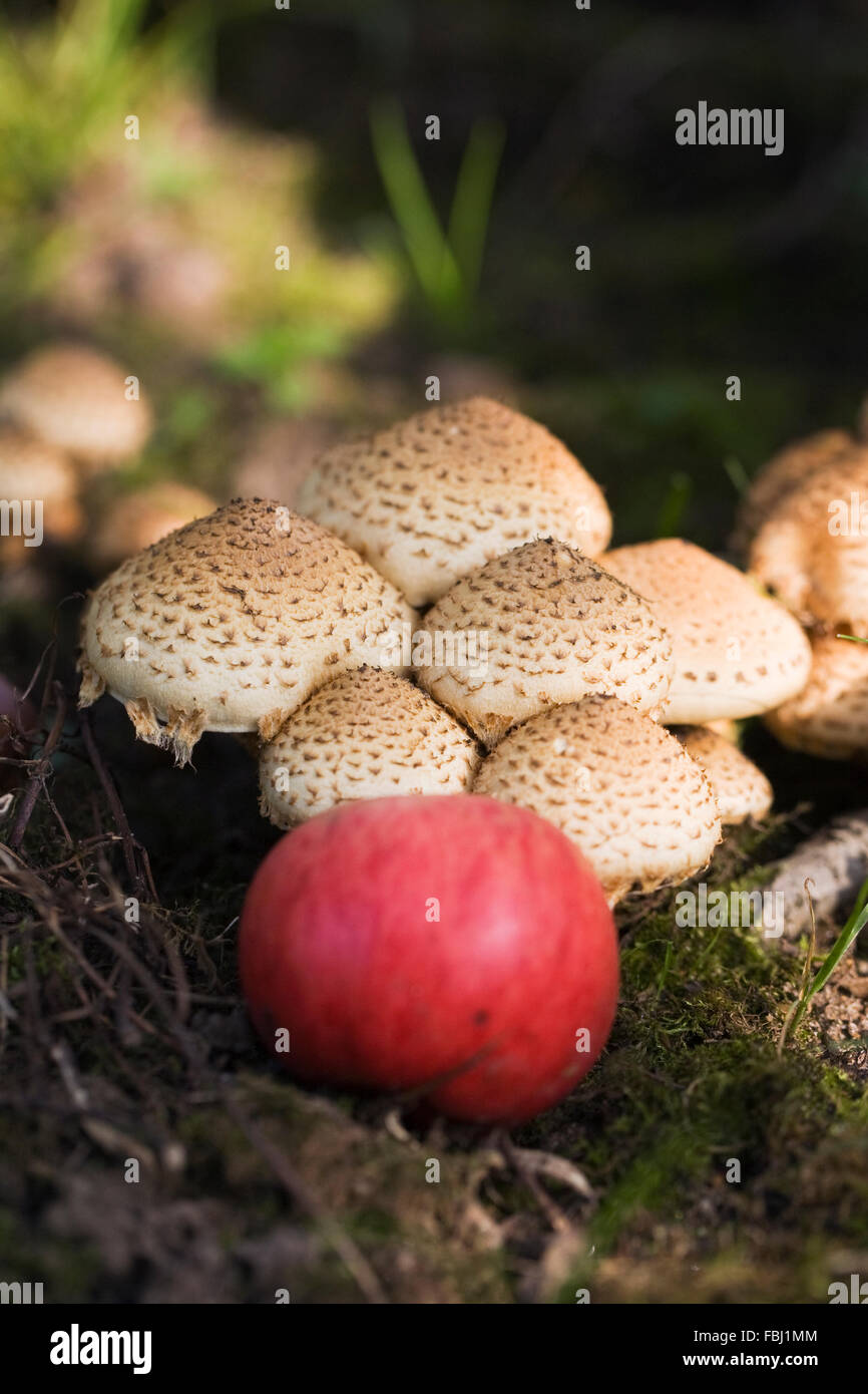 Malus domestica. Fallen apple on the woodland floor. Stock Photo