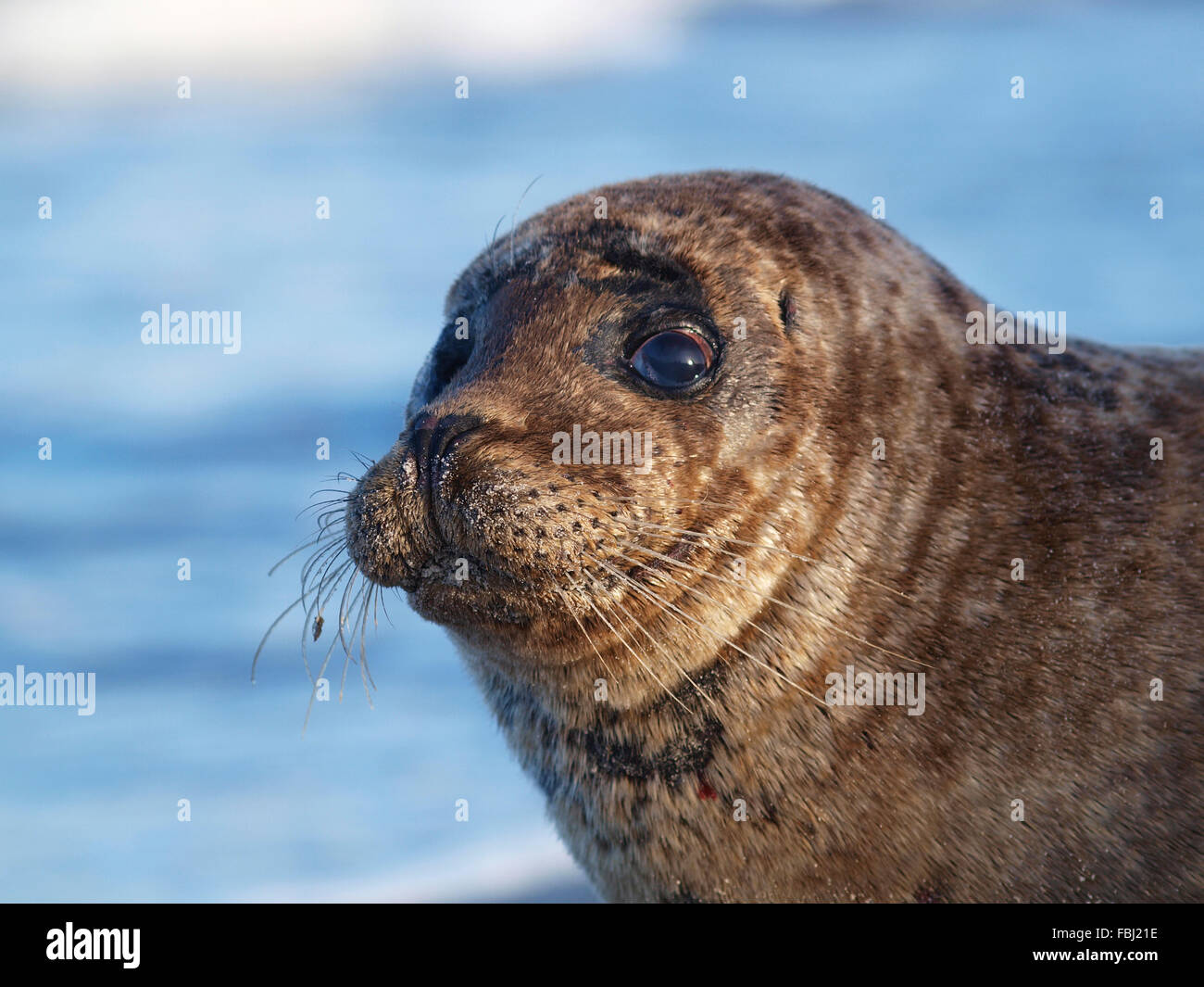 Injured seal on the beach of Hiddensee - injuries at the neck probably caused by fishing net - Stock Image
