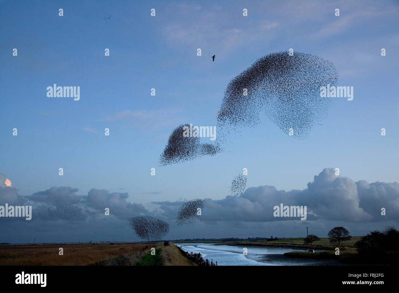 Starlings (Sturnus vulgaris) at Hen reedbeds, in winter roosting flight, with Herring gulls (Larus argentatus) accompanying - Stock Image