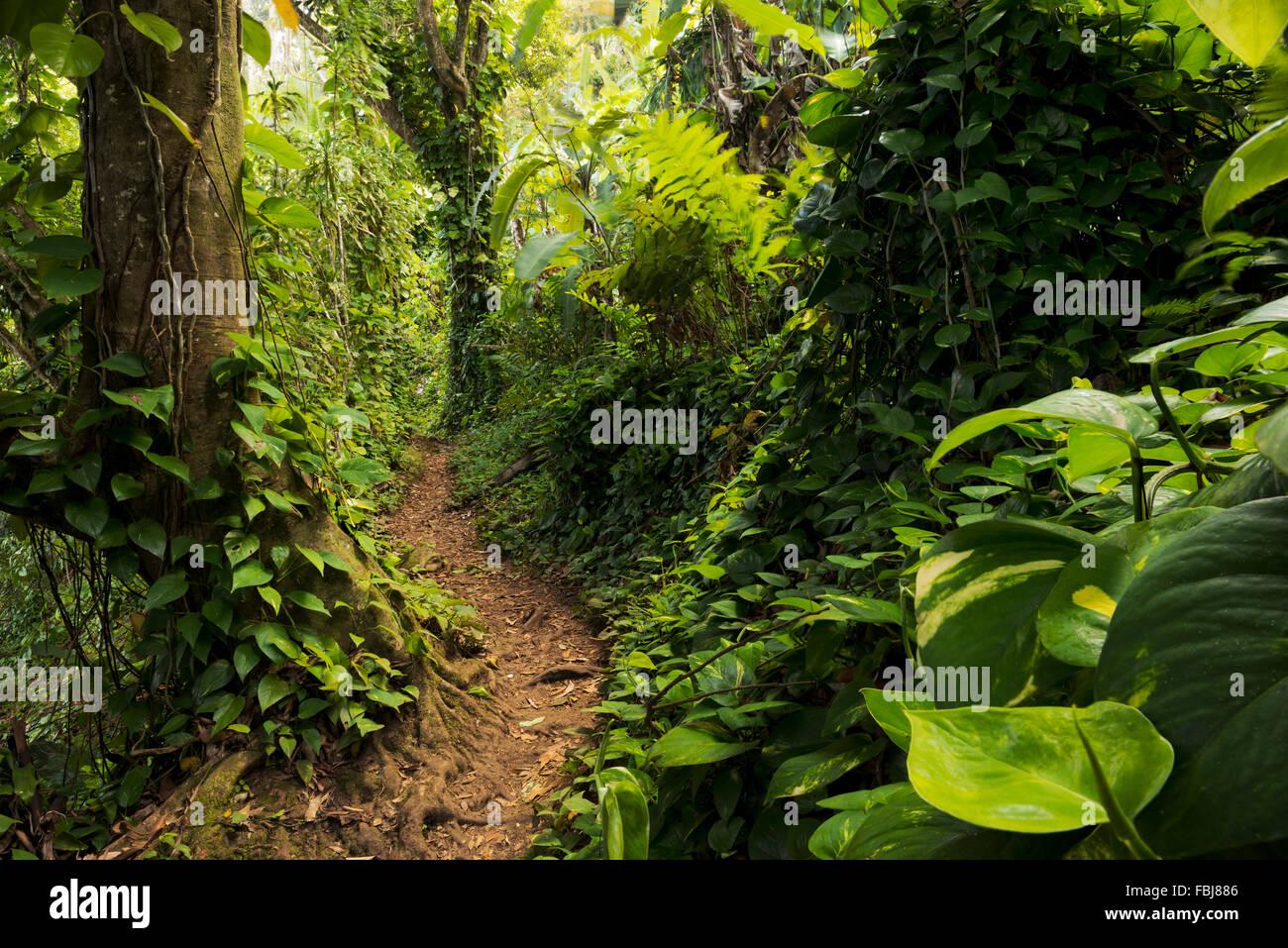 The Caribbean, Guadeloupe, island, jungle, rainforest, dreamlike, path, way, plants, leaves, tree, green, lush, - Stock Image