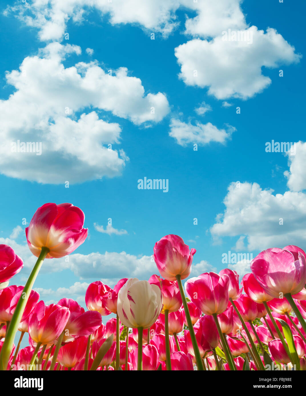 Beautiful tulips field in the Netherlands - Stock Image