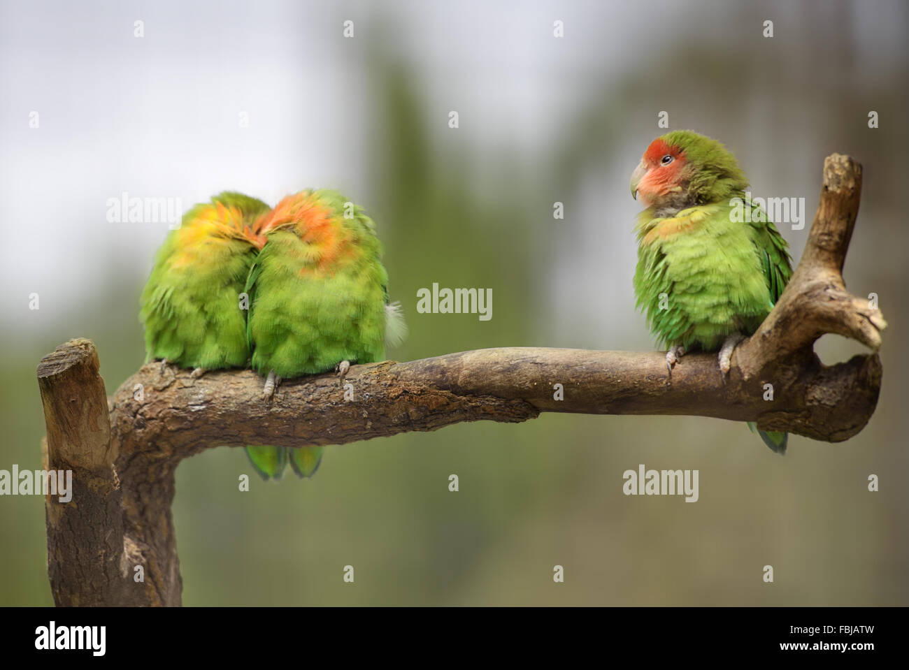 Three lovebirds on a branch - Stock Image