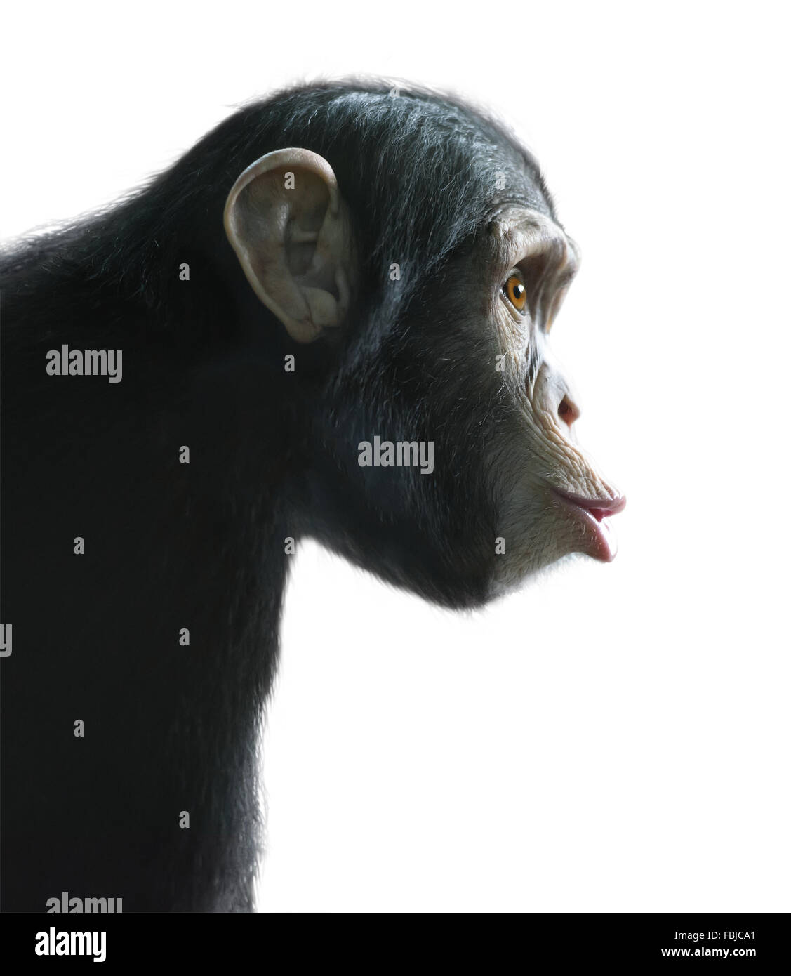 Chimpanzee's surprised funny face isolated on white with clipping path - Stock Image