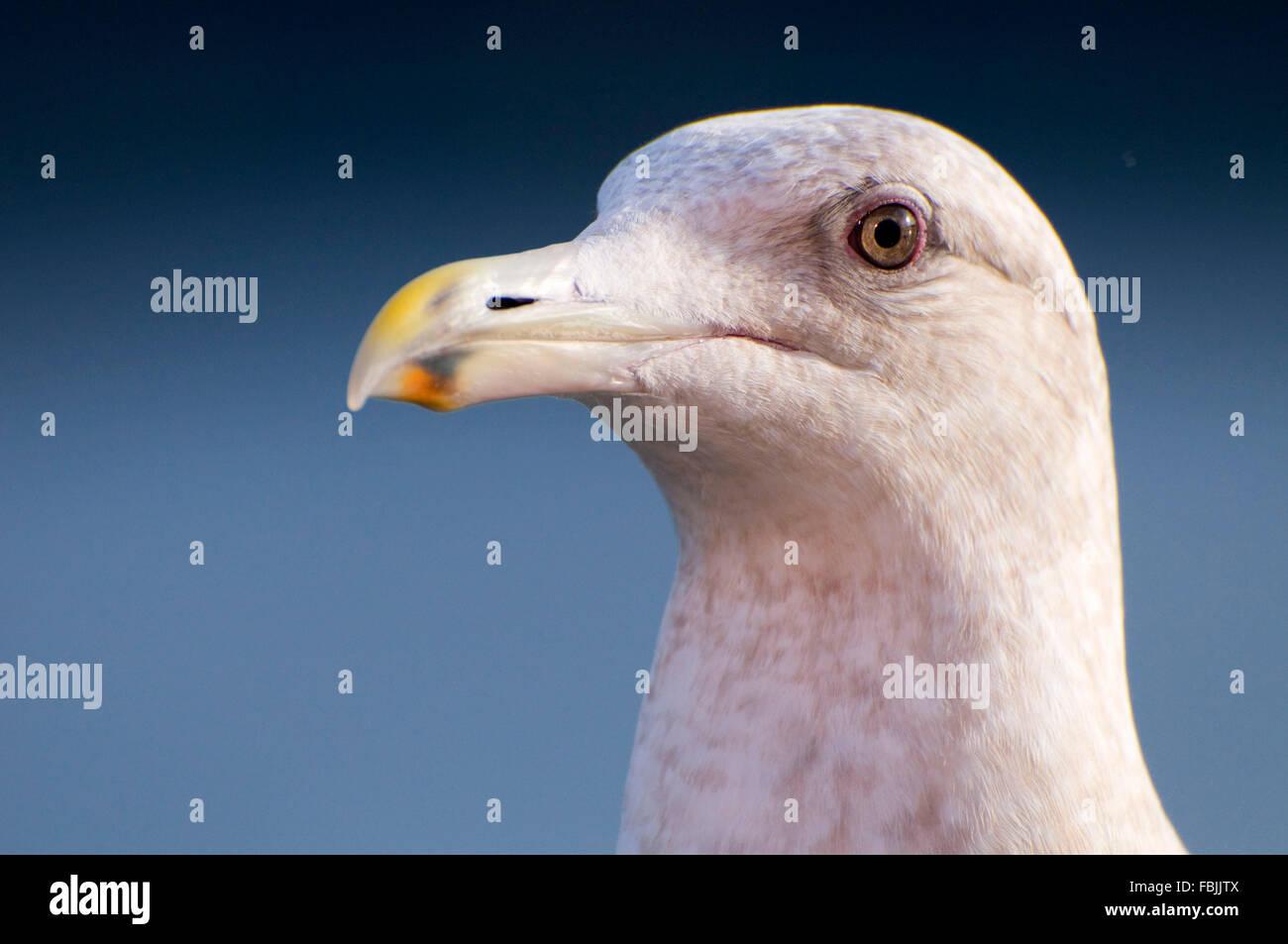 Glaucous-winged gull (Larus glaucescens), Waterfront Park, Portland, Oregon - Stock Image