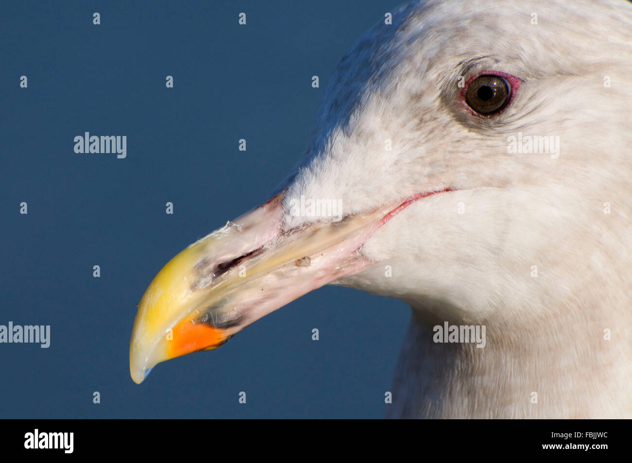 Glaucous-winged gull (Larus glaucescens), Waterfront Park, Portland, OR - Stock Image