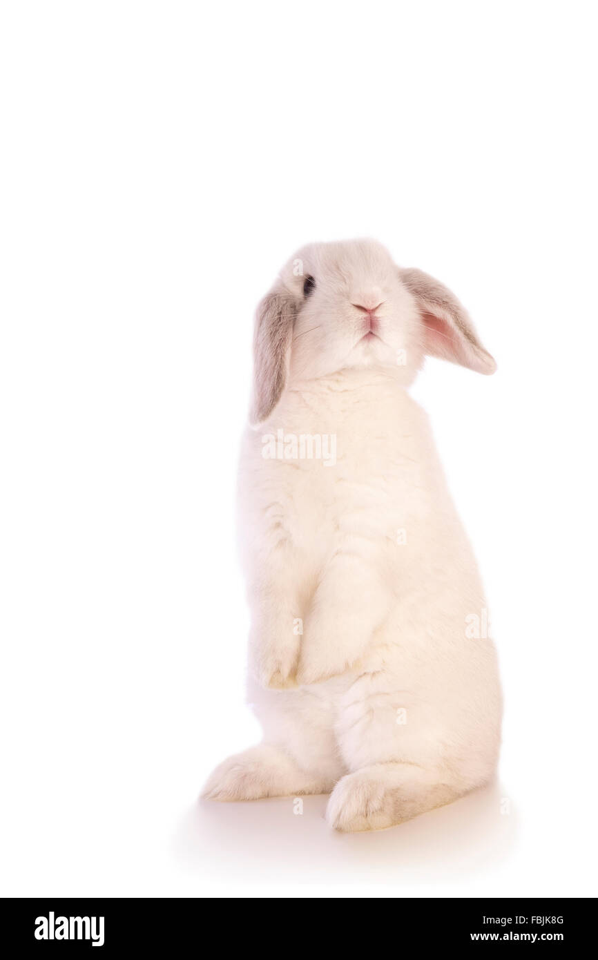 White lop ear rabbit sitting straight up on back legs and looking to the side isolated - Stock Image