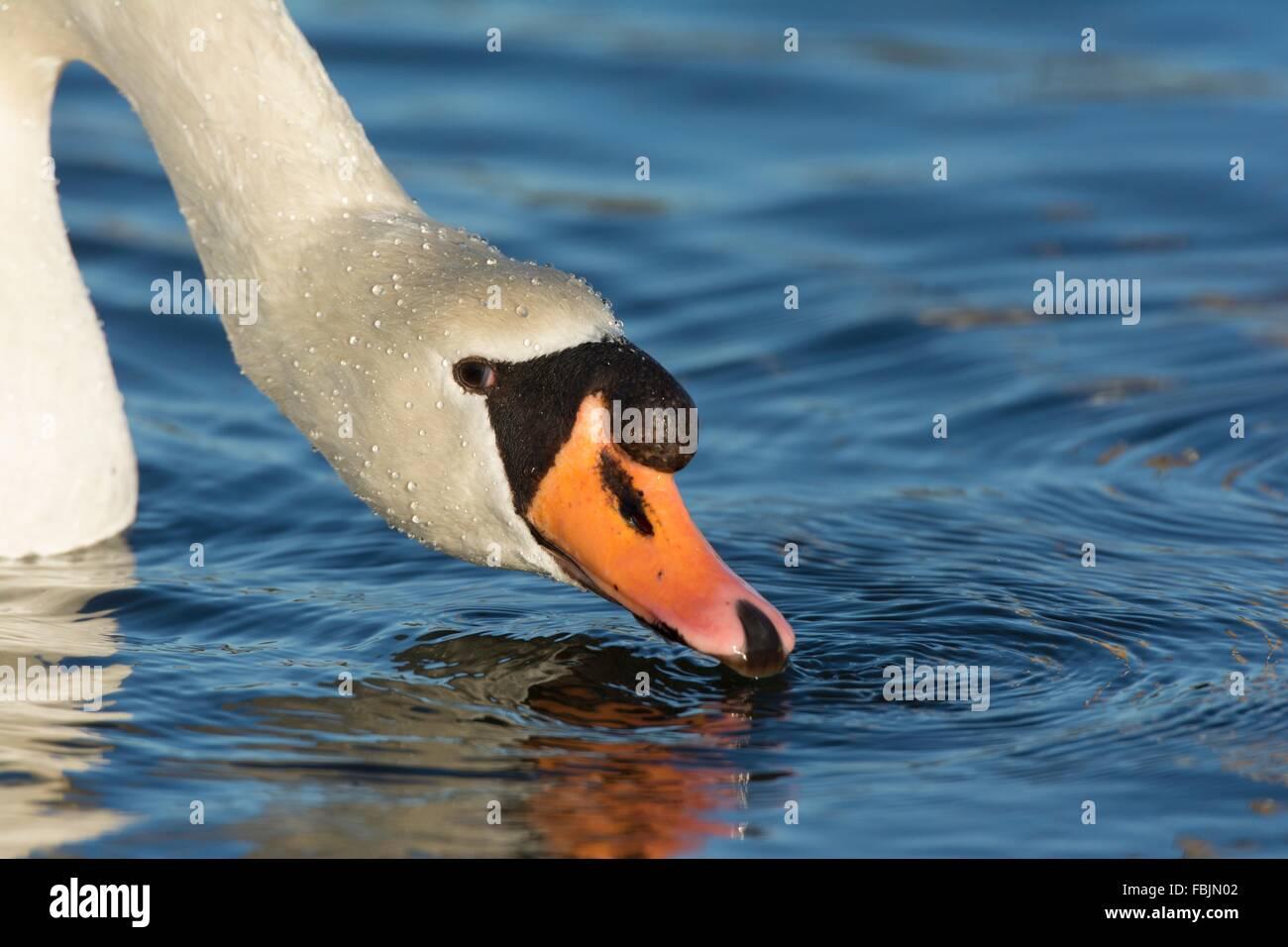 Mute Swan - Cygnus olor, adult female drinking - Stock Image