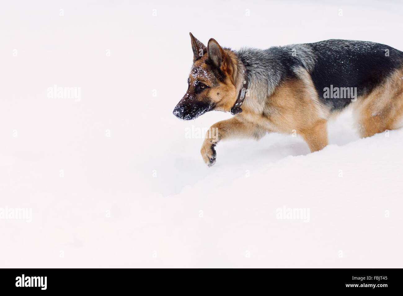 Adult German Shepherd hunting on snow - Stock Image