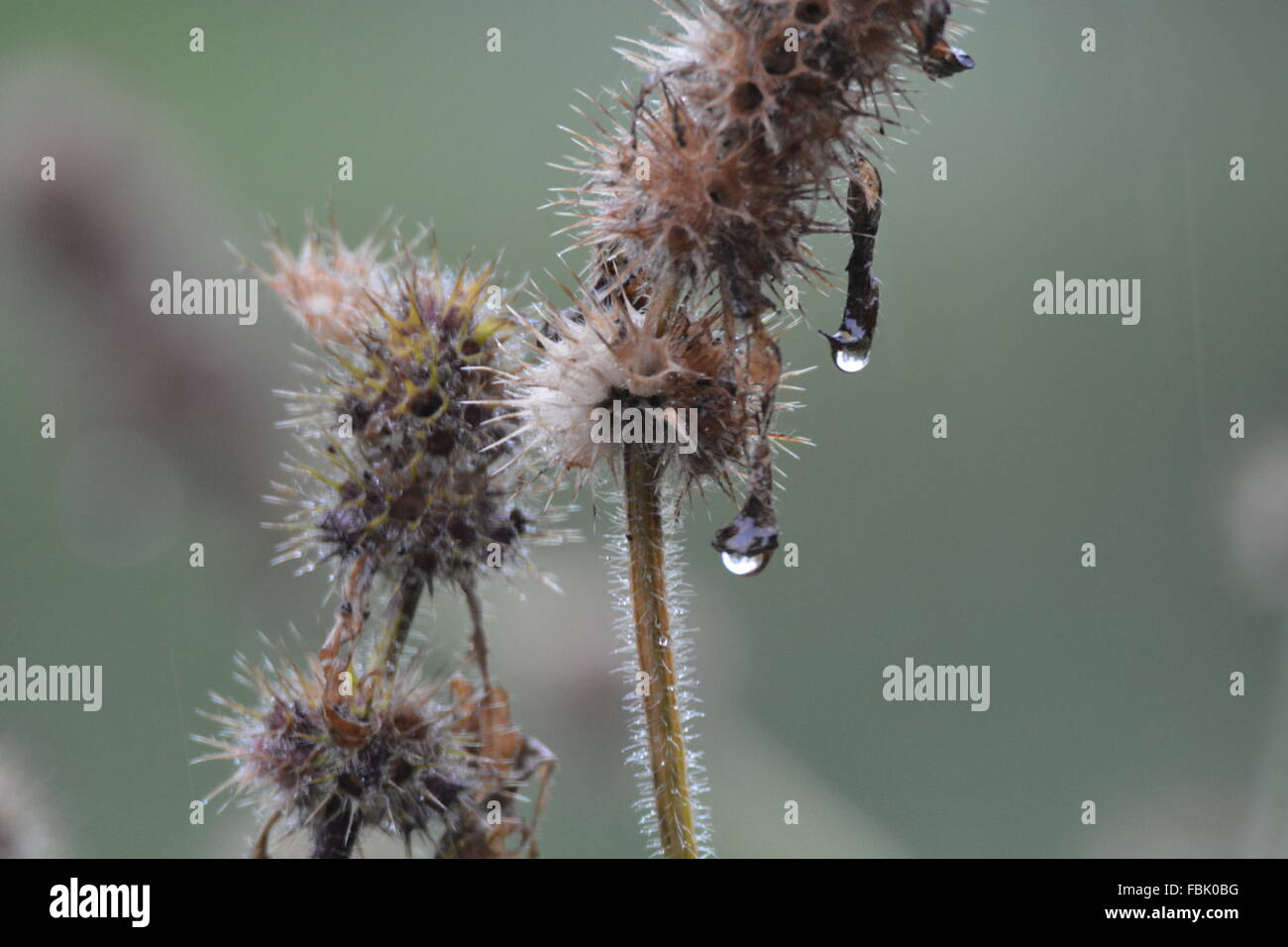 Water drip on frosty dead plant - Stock Image