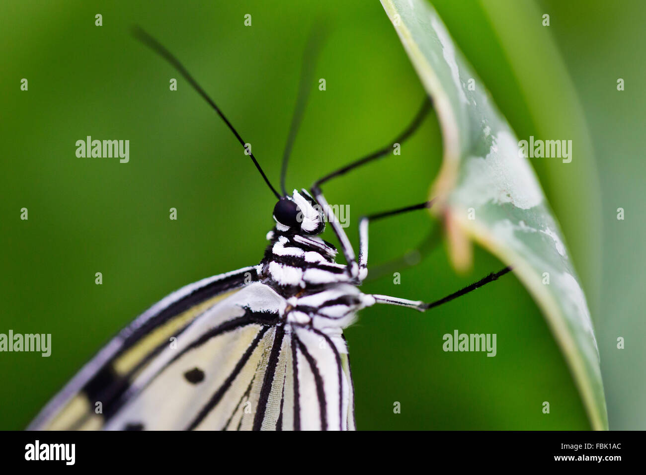 Wisley, Surrey, UK. 17th Jan, 2016. Exotic butterflies ( the Tree Nymph butterfly pictured) enjoy the hot weather - Stock Image