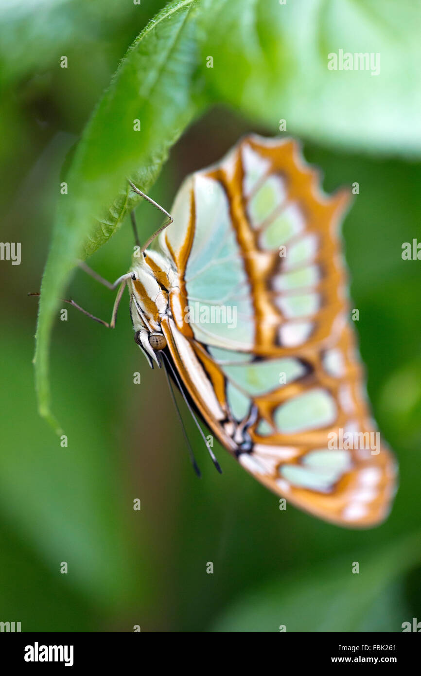 Wisley, Surrey, UK. 17th Jan, 2016. Exotic butterflies enjoy the hot weather inside the Tropical Glasshouse at RHS - Stock Image