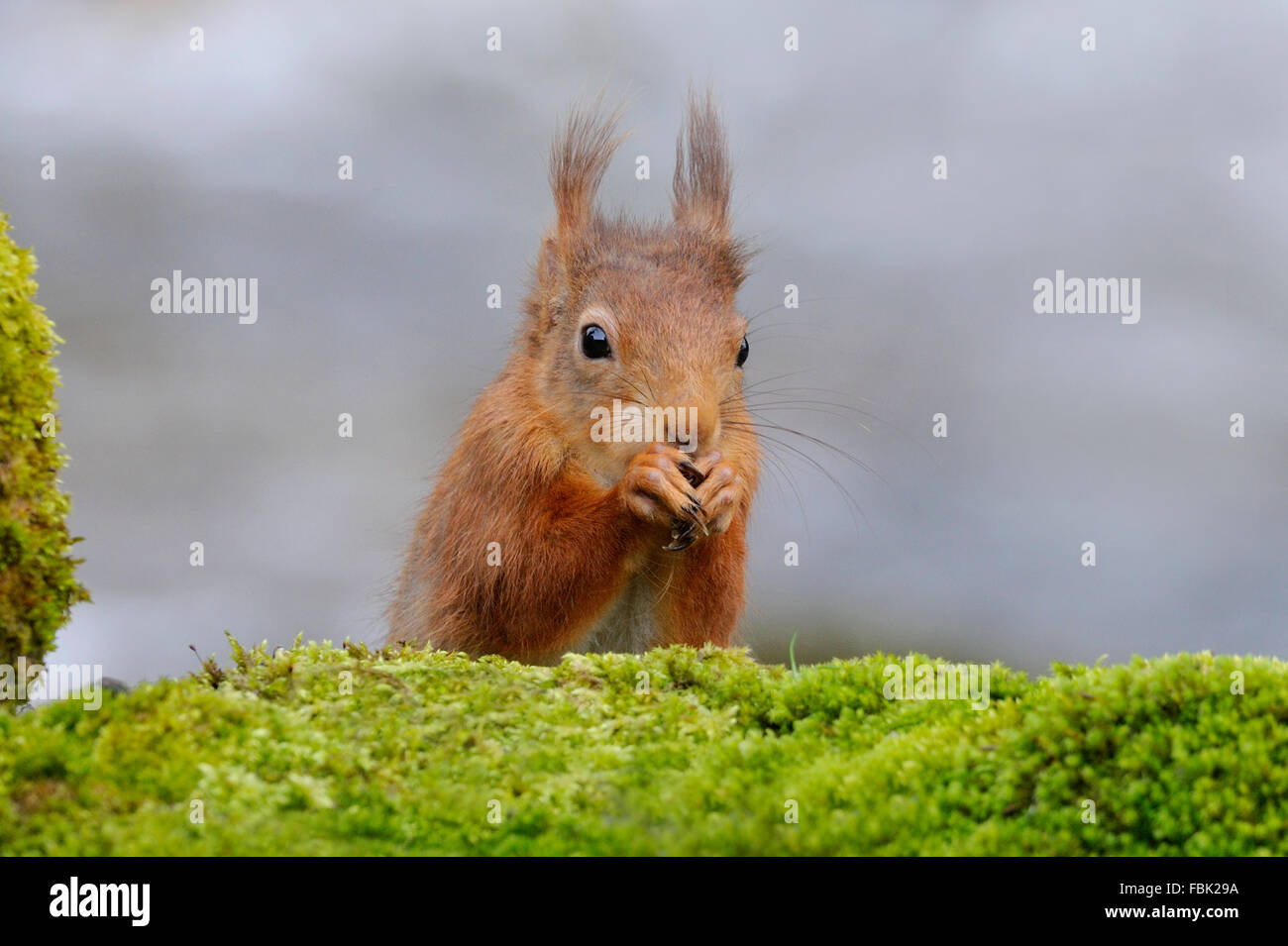 Red Squirrel (Sciurus vulgaris) perched by moss covered bolder alongside the Cotterbeck, in Cotterdale, Yorkshire - Stock Image