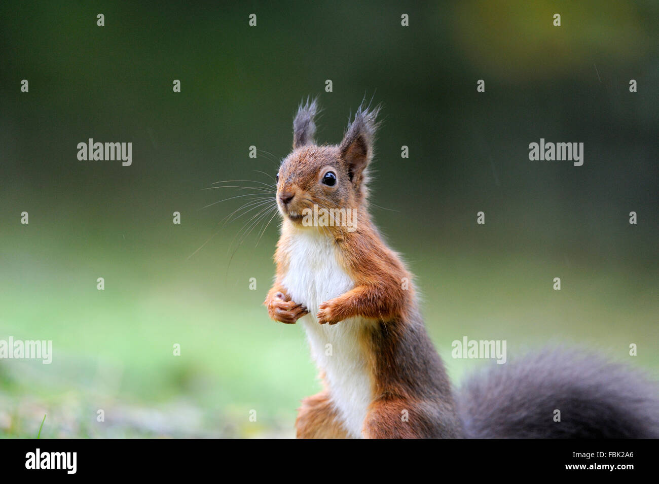 Red Squirrel (Sciurus vulgaris) close up on garden lawn, in the Newlands Valley, near Keswick, Cumbria, the Lake - Stock Image