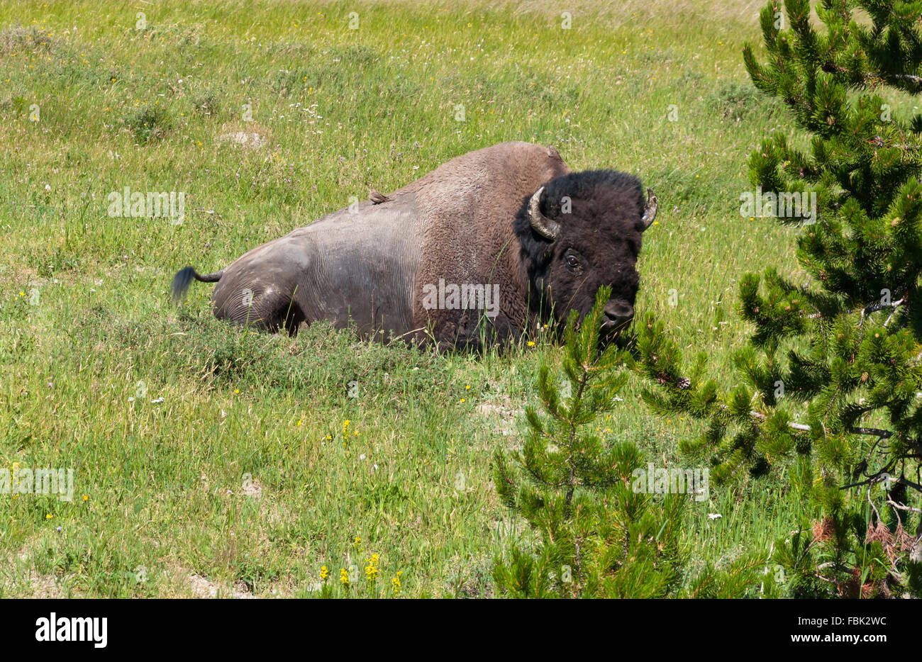 Bison sitting on grass at Yellowstone National Park - Stock Image
