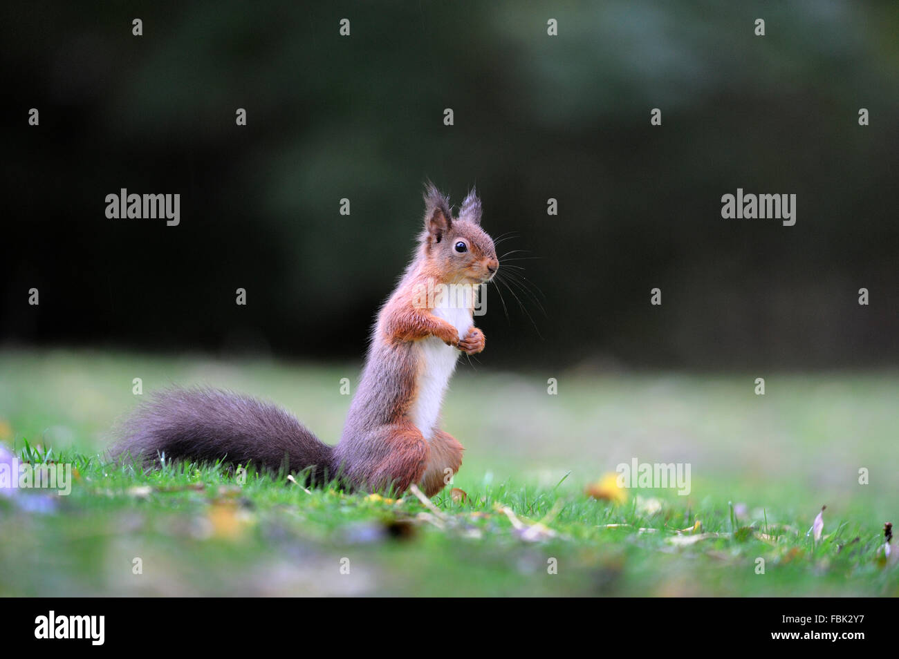 Red Squirrel (Sciurus vulgaris) on garden lawn, in the Newlands Valley, near Keswick, Cumbria, the Lake District, - Stock Image
