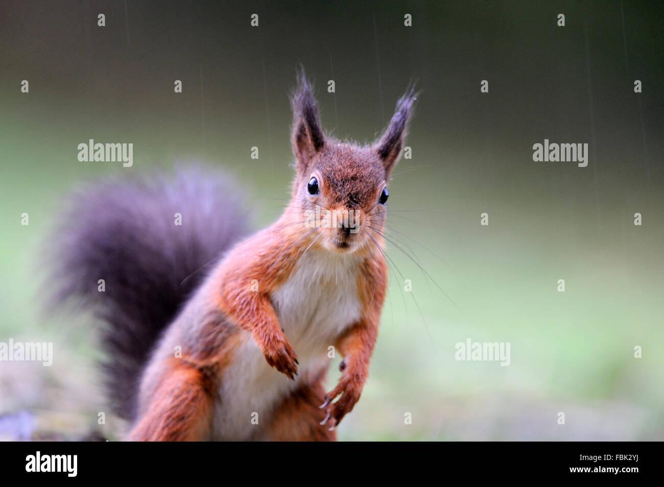 Red Squirrel (Sciurus vulgaris) in heavy rain, peering into the camera, on garden lawn, in the Newlands Valley, - Stock Image