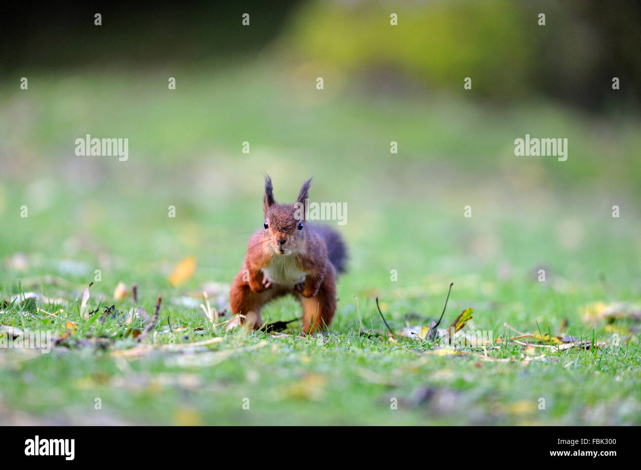 Red Squirrel (Sciurus vulgaris) running towards camera, on garden lawn, in the Newlands Valley, near Keswick, Cumbria, - Stock Image