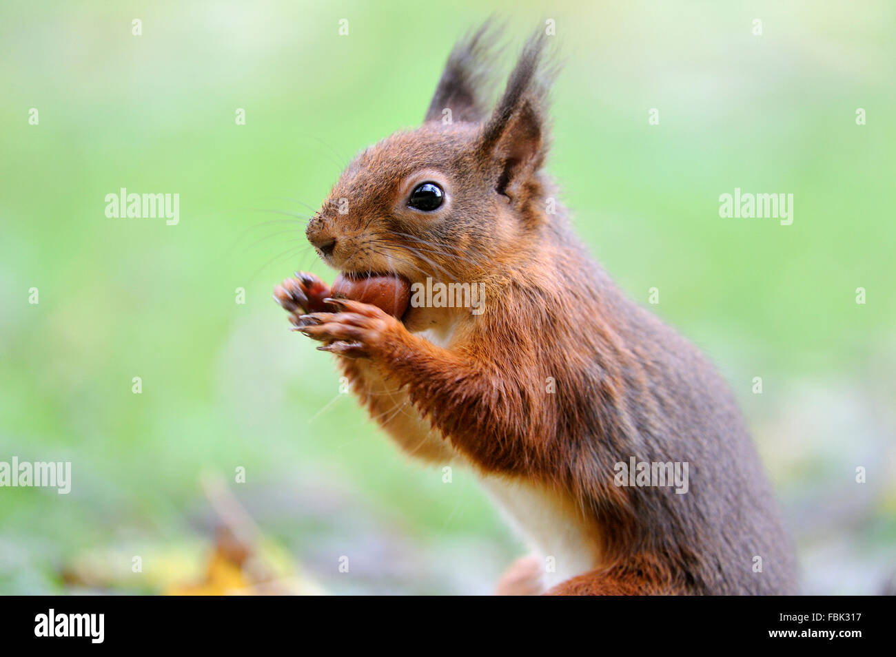 Red Squirrel (Sciurus vulgaris) with hazelnut, on garden lawn, in the Newlands Valley, near Keswick, Cumbria, the - Stock Image