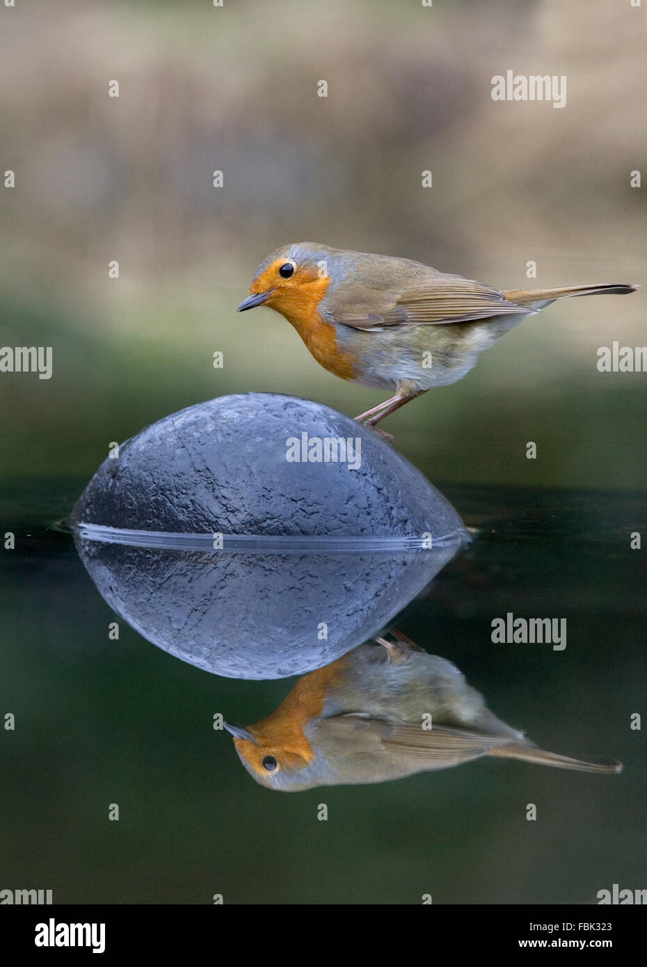 European Robin (Erithacus rubecula) perched on a stone in the middle of a garden pond, with refection, Bentley. - Stock Image