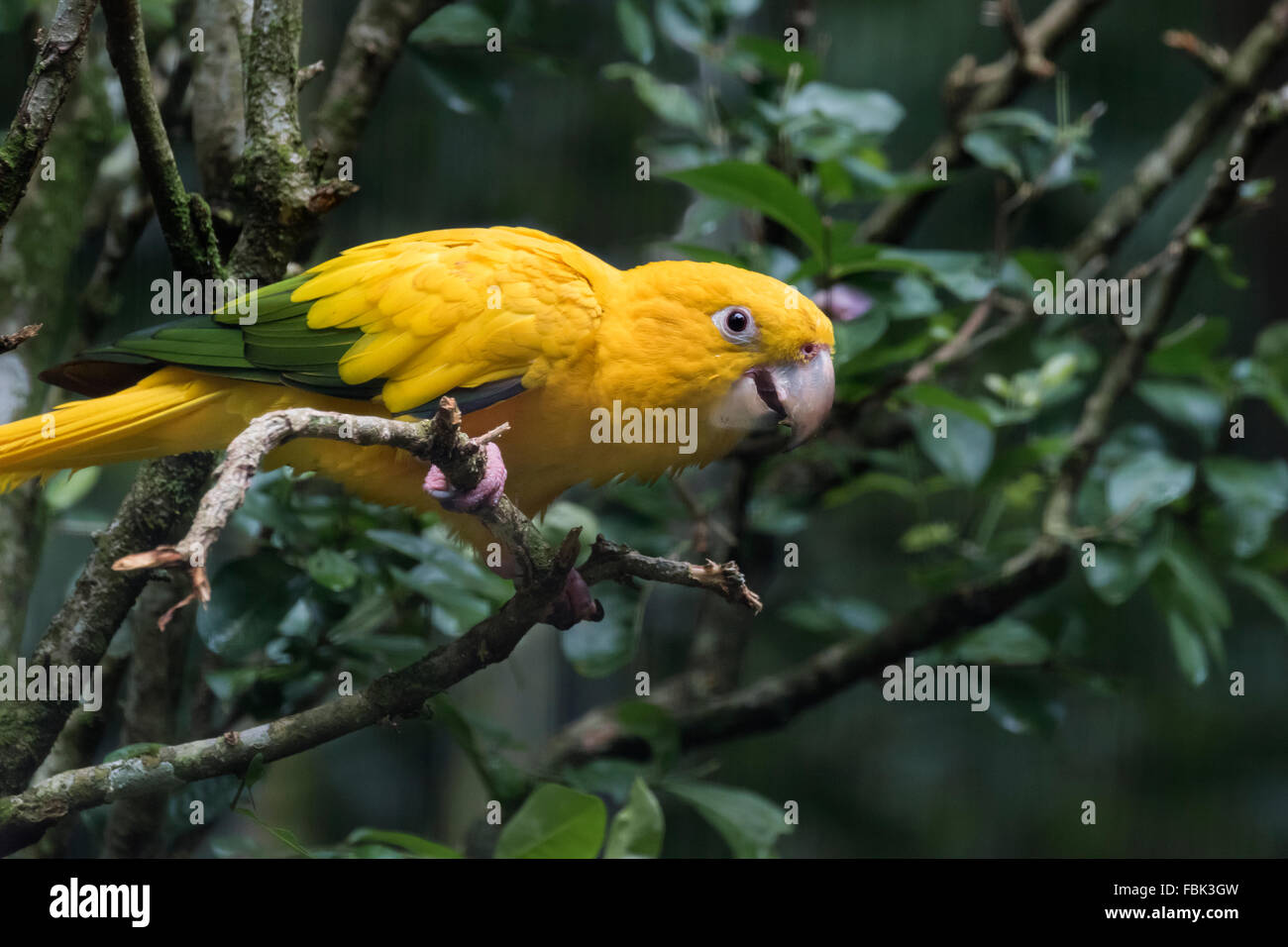 green parrot species stock photos green parrot species stock