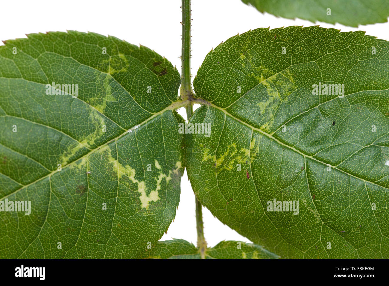 Rose mosaic virus symptoms on rose leaf - Stock Image