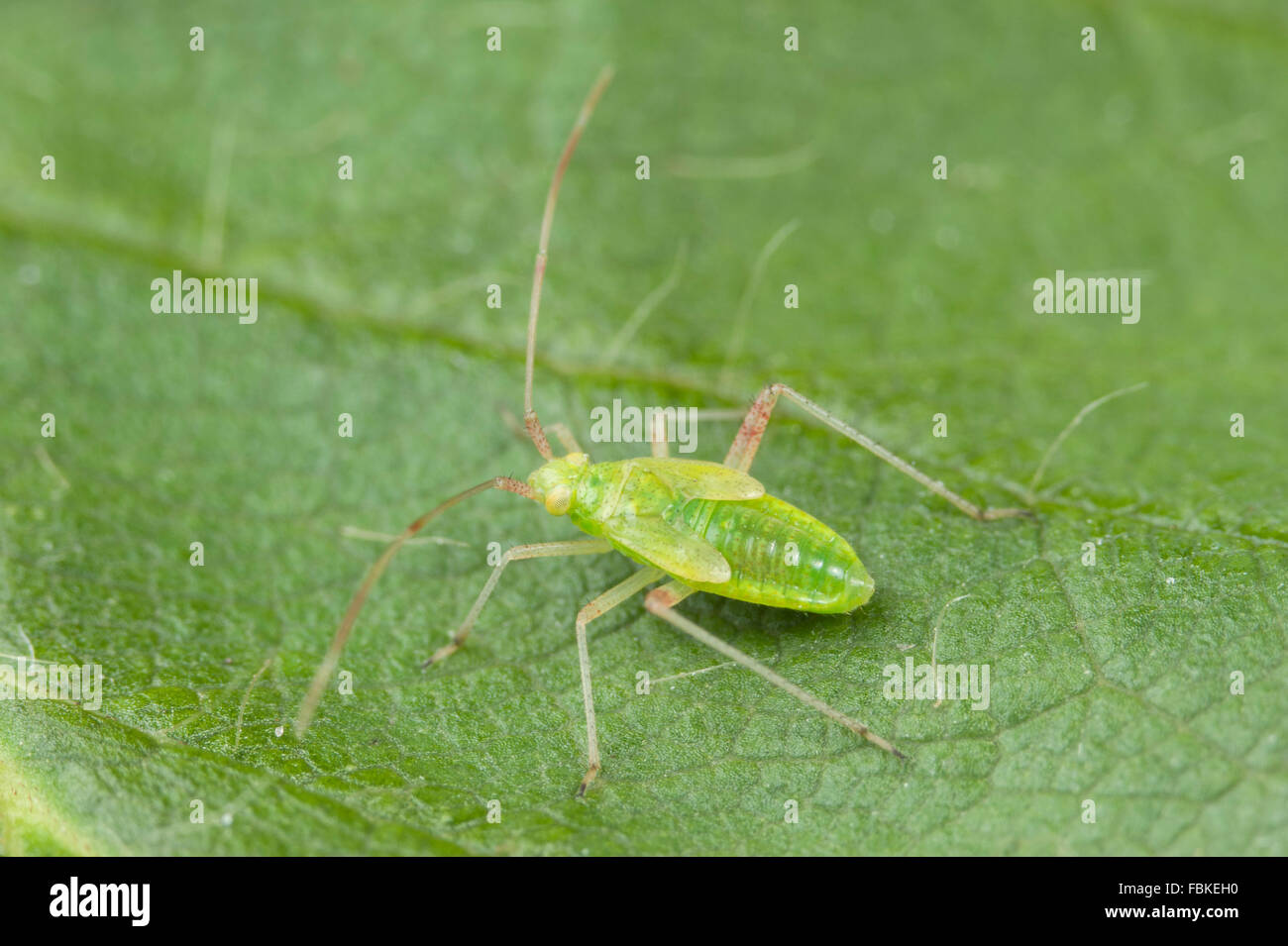 Mirid bug nymph (juvenile) Stock Photo