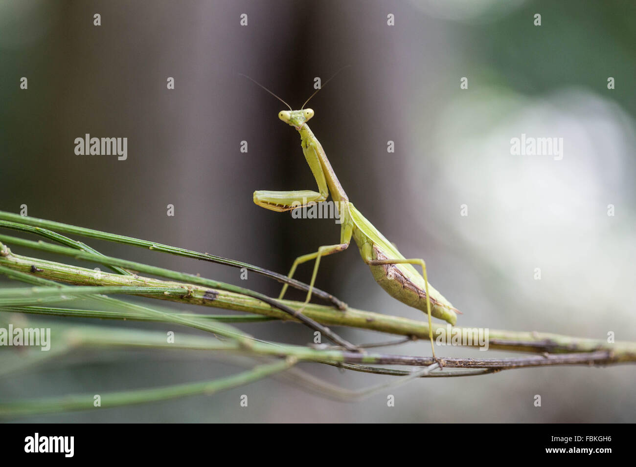 A Stare Down with a Praying Mantis - Stock Image