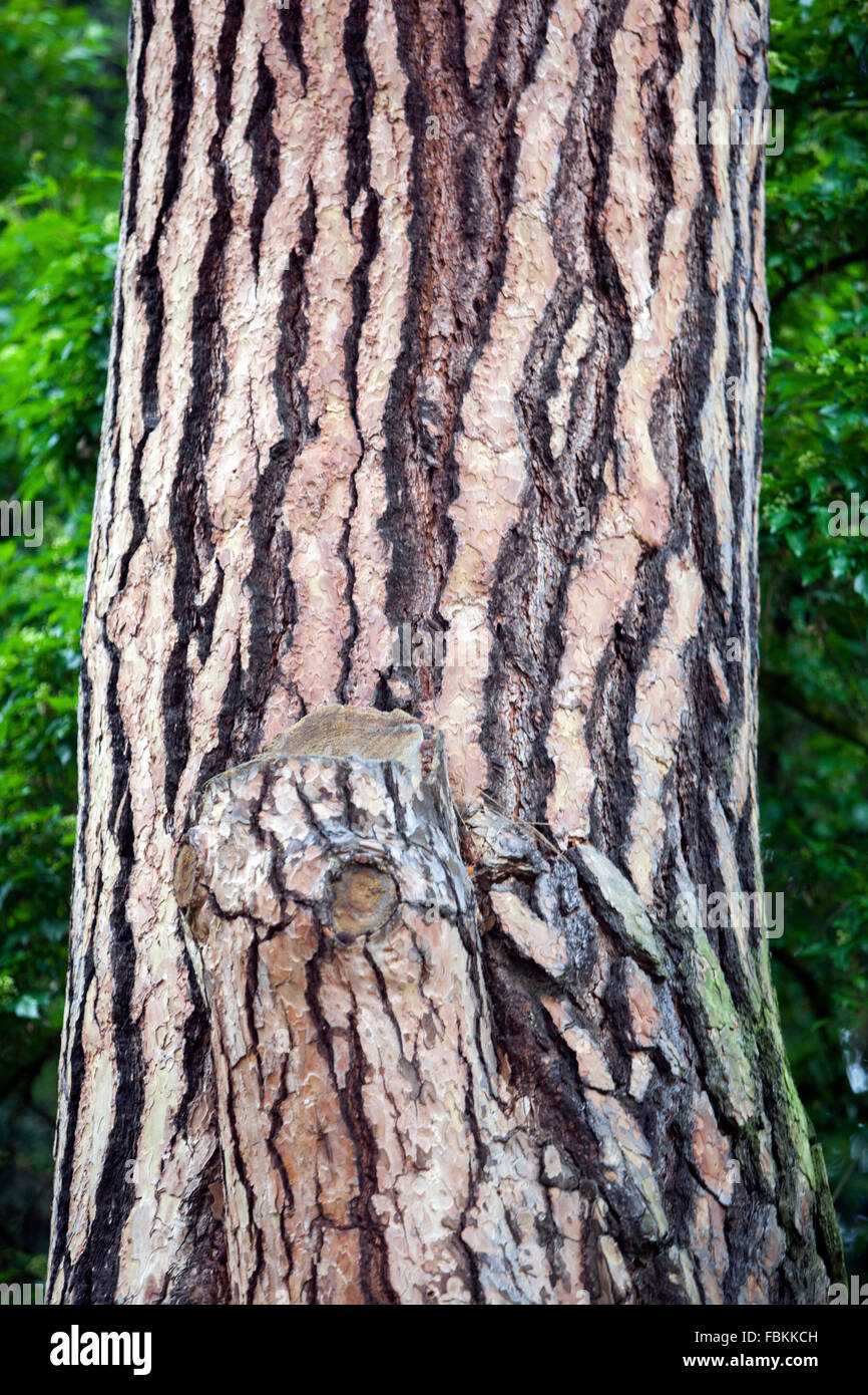 Old pine tree Pinus sylvestris texture tree trunk and bark - Stock Image