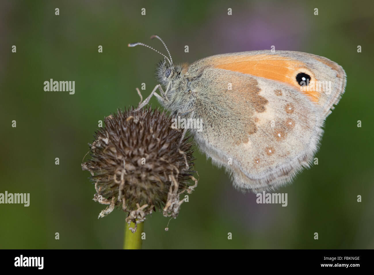 Small Heath (Coenonympha pamphilus) butterfly on a dead flower head - Stock Image