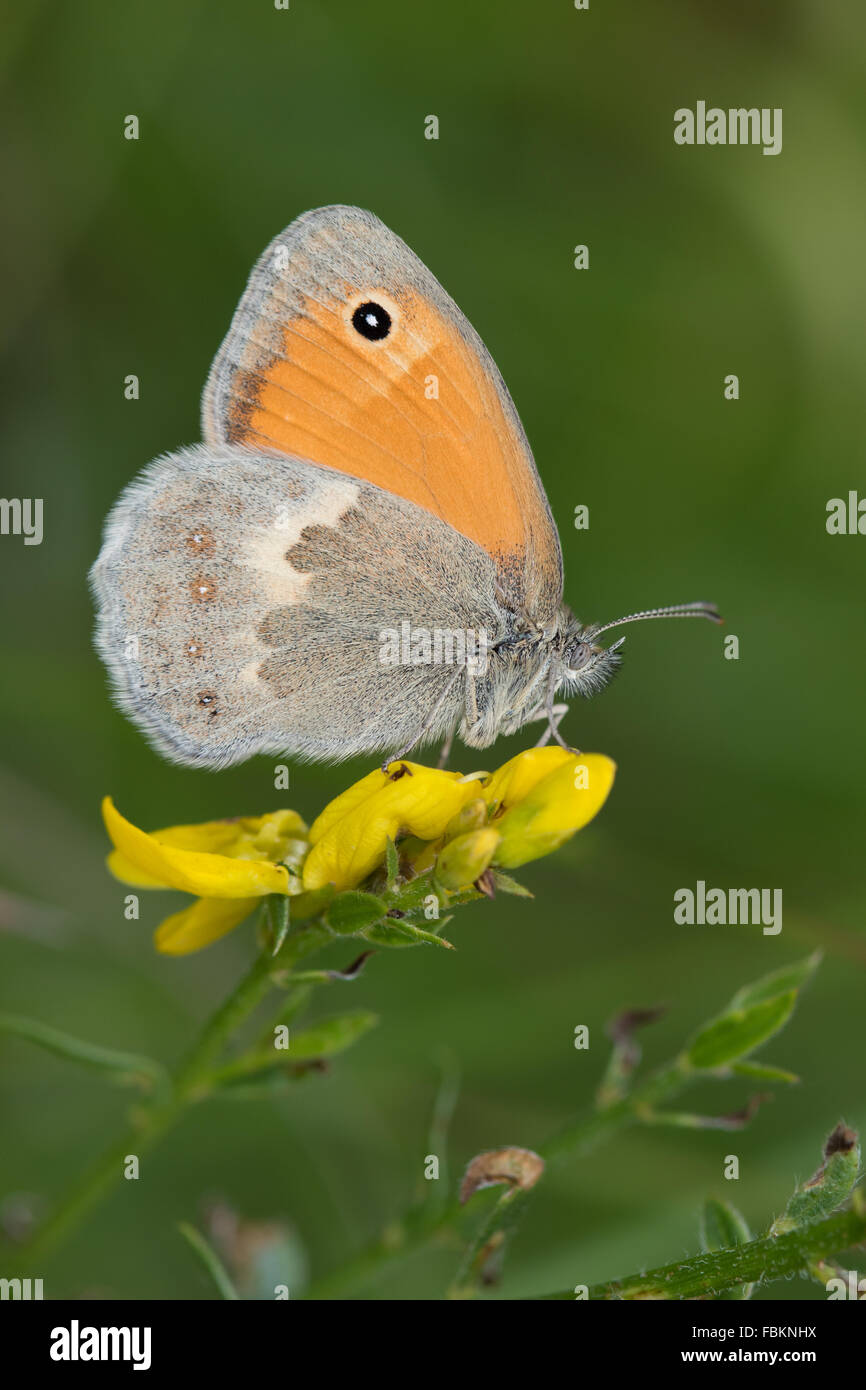 Small Heath (Coenonympha pamphilus) butterfly on a yellow Trifolium flower - Stock Image