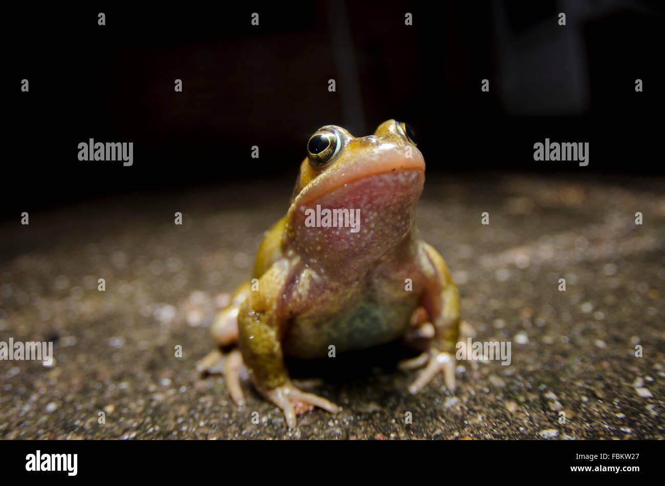 Common Frog close up at night - Stock Image