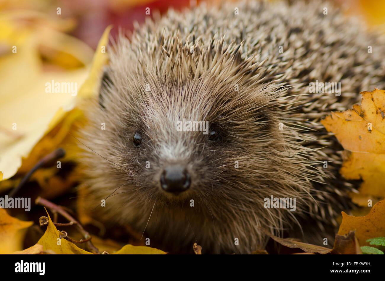 Hedgehog in Leaves (Erinaceus europaeus) - Stock Image