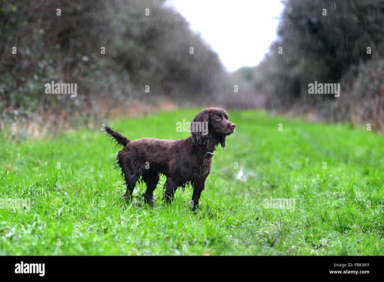 Wet cocker spaniel n the rain - Stock Image