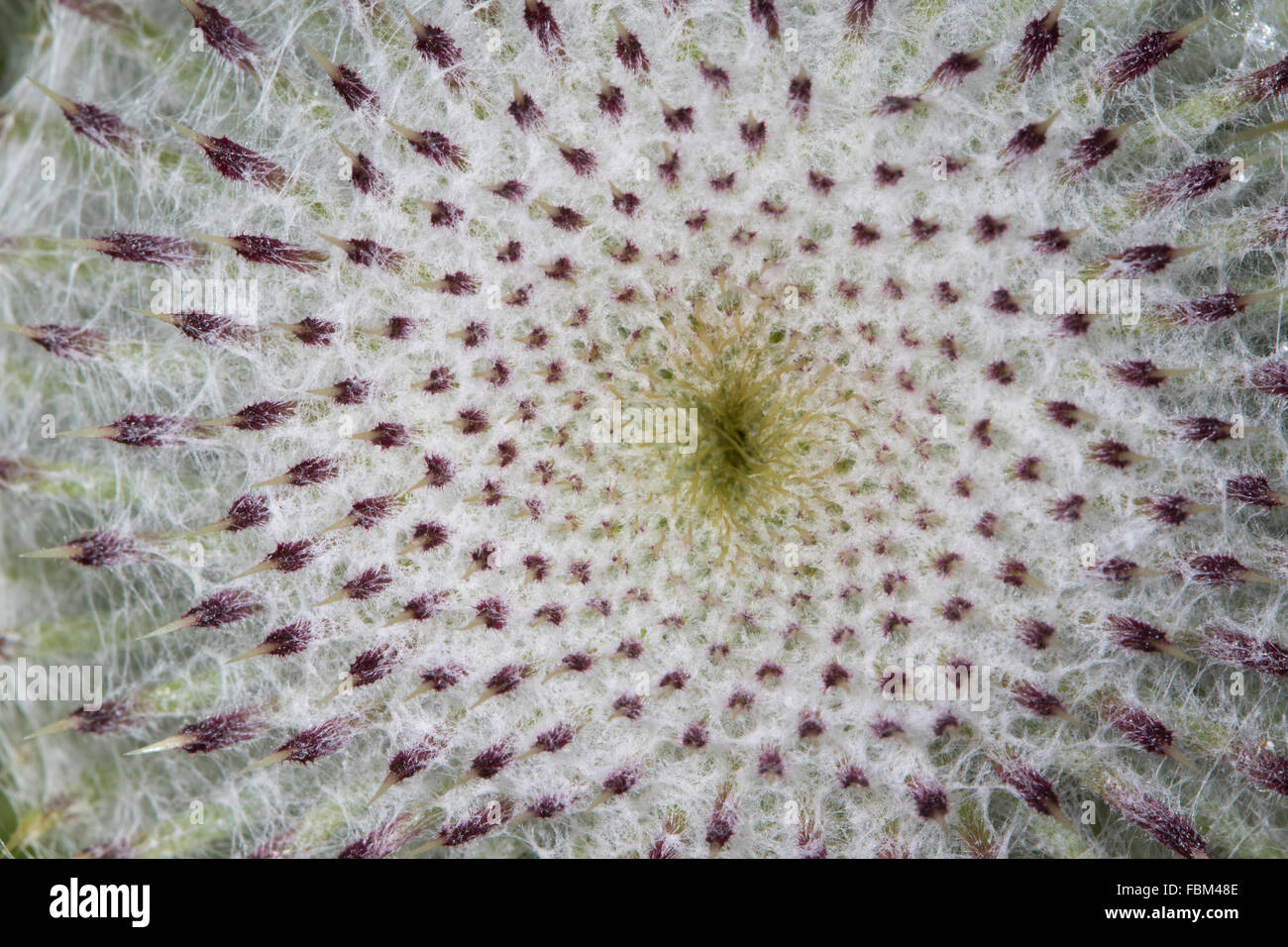 Close-up of a Woolly Thistle (Cirsium eriophorum) flower head - Stock Image