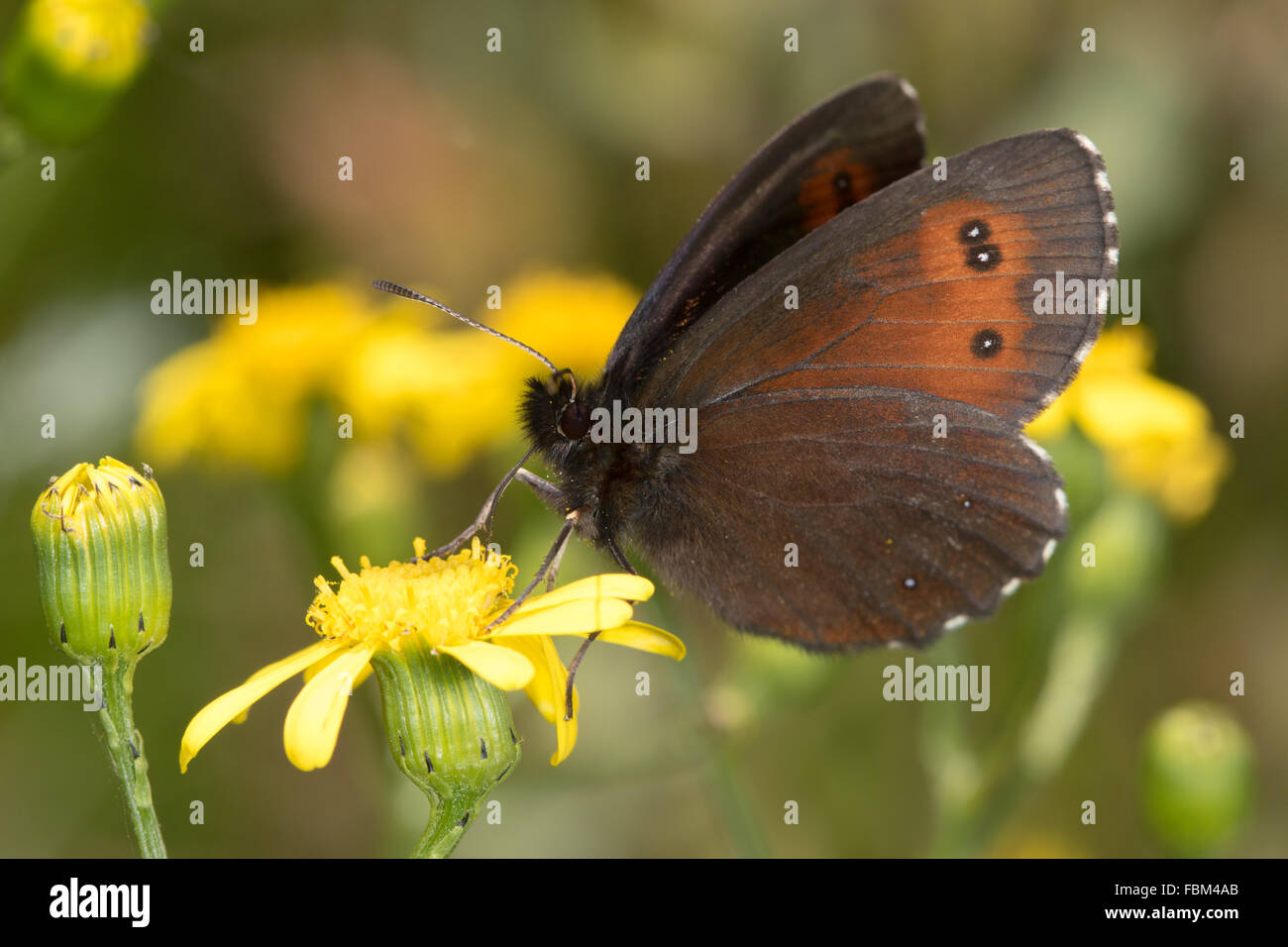 Large Ringlet (Erebia euryale) feeding on a hawkweed flower - Stock Image