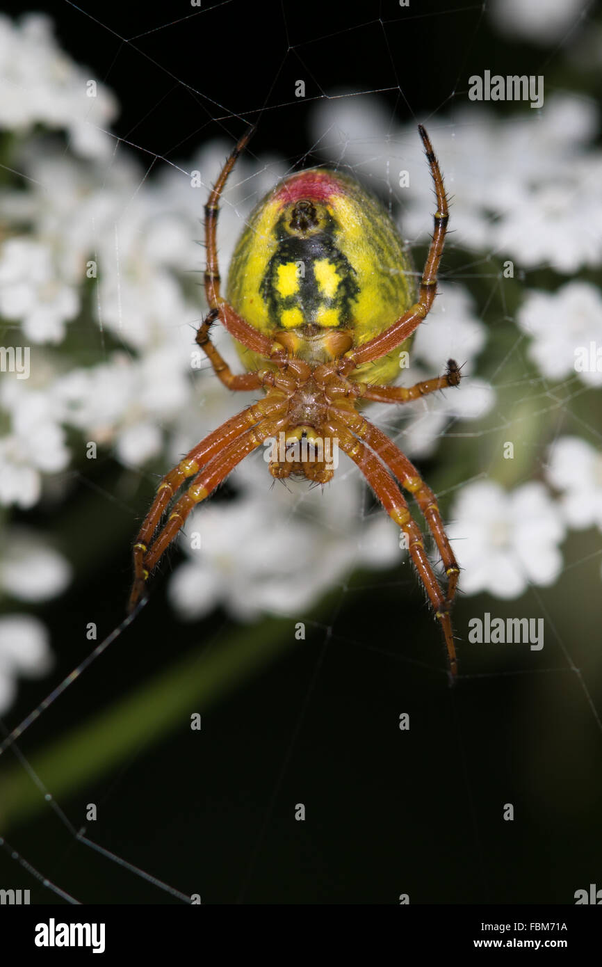 underside of a female Araniella alpica spider on its web - Stock Image