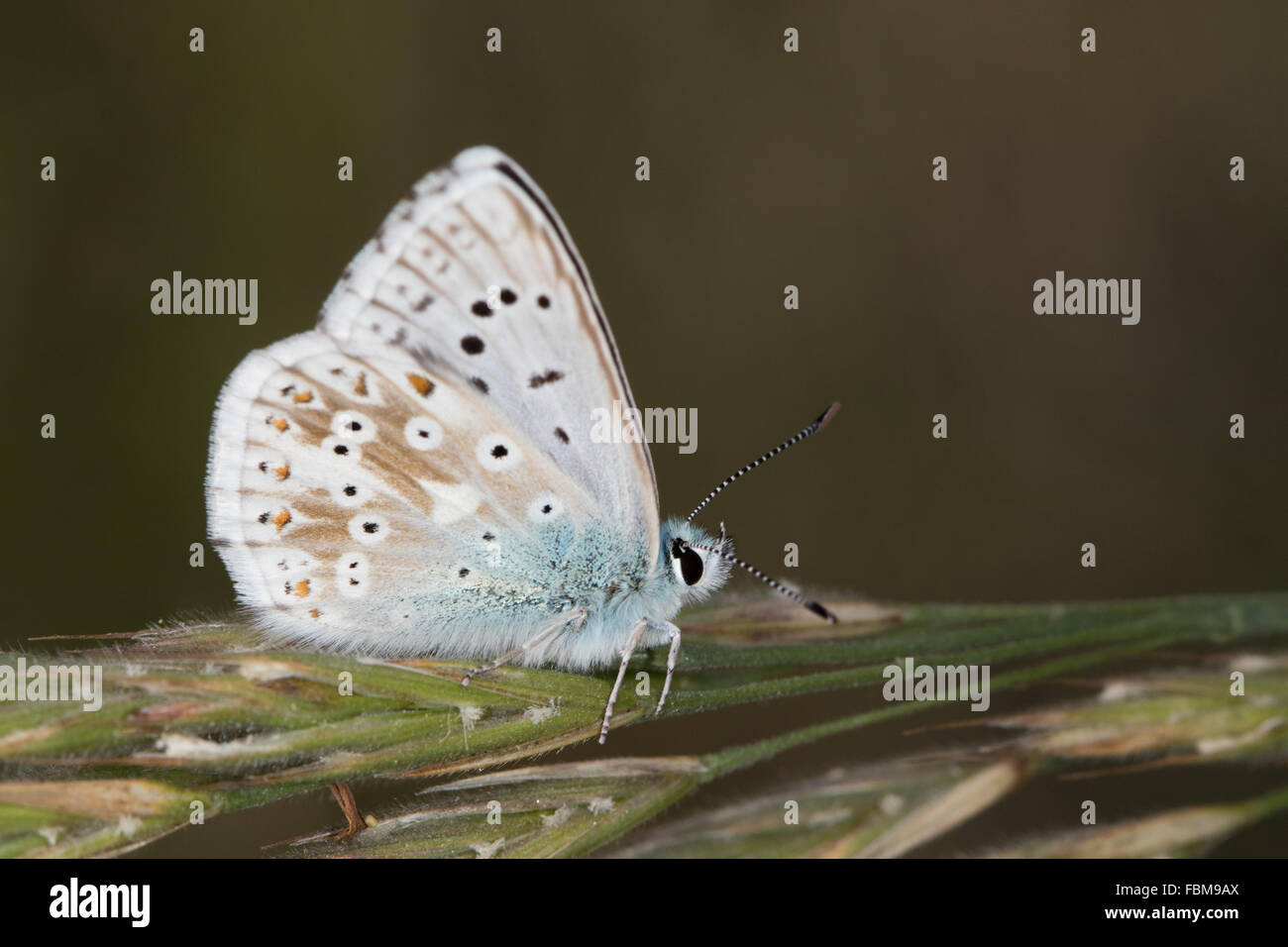 Chalkhill Blue (Polyommatus coridon) butterfly resting on a grass stem - Stock Image