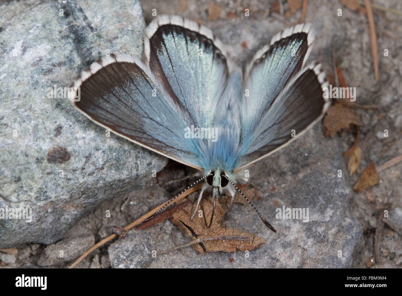 Chalkhill Blue (Polyommatus coridon) butterfly sucking up minerals from a muddy track - Stock Image