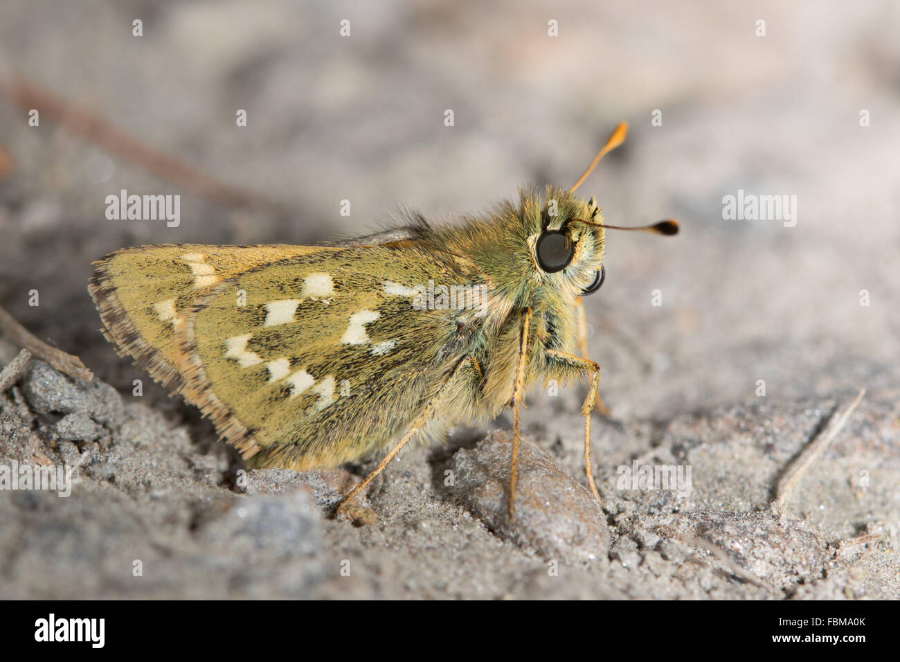 Silver-spotted Skipper (Hesperia comma) Stock Photo