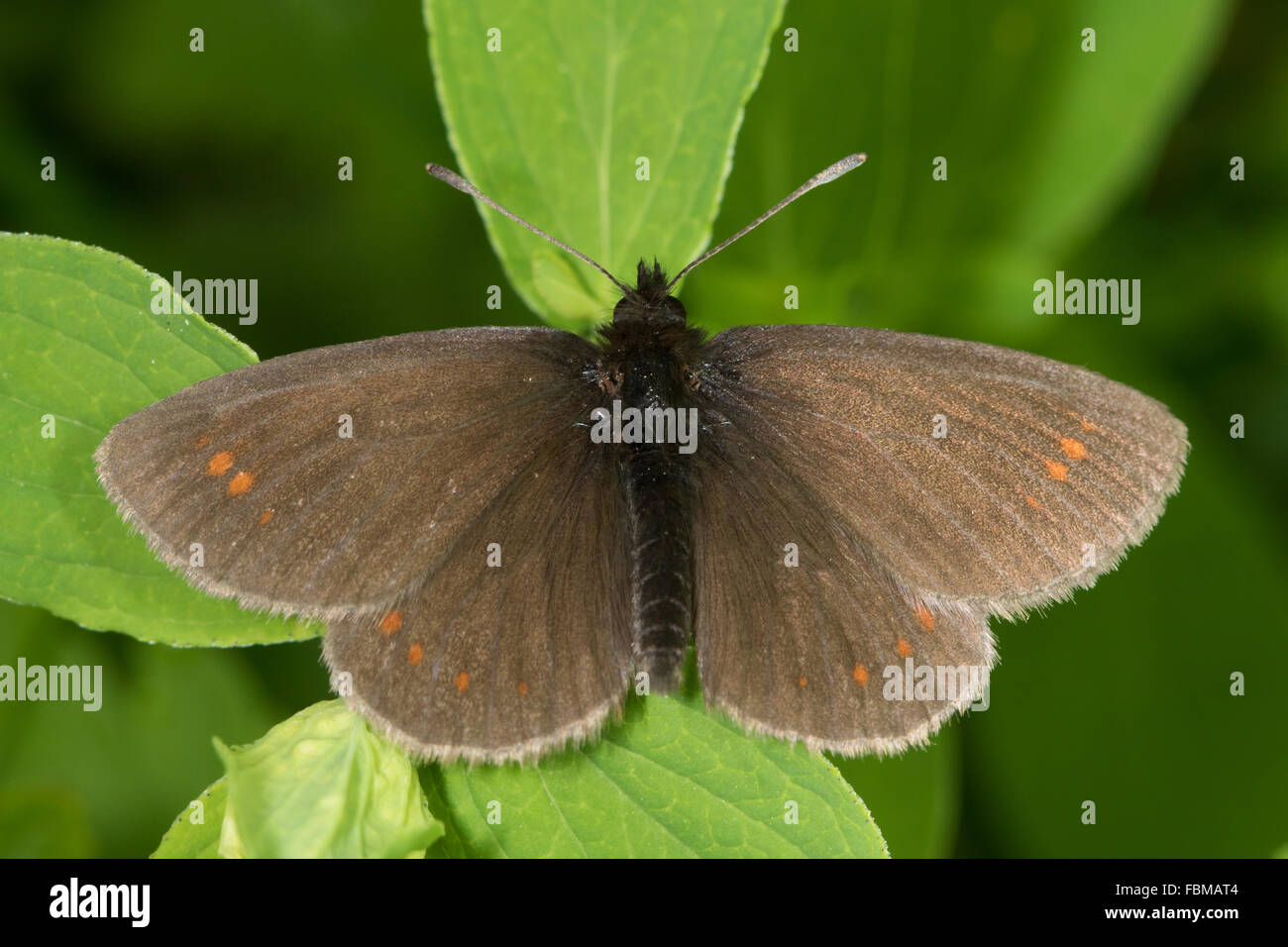 Yellow-spotted Ringlet (Erebia manto) - Stock Image