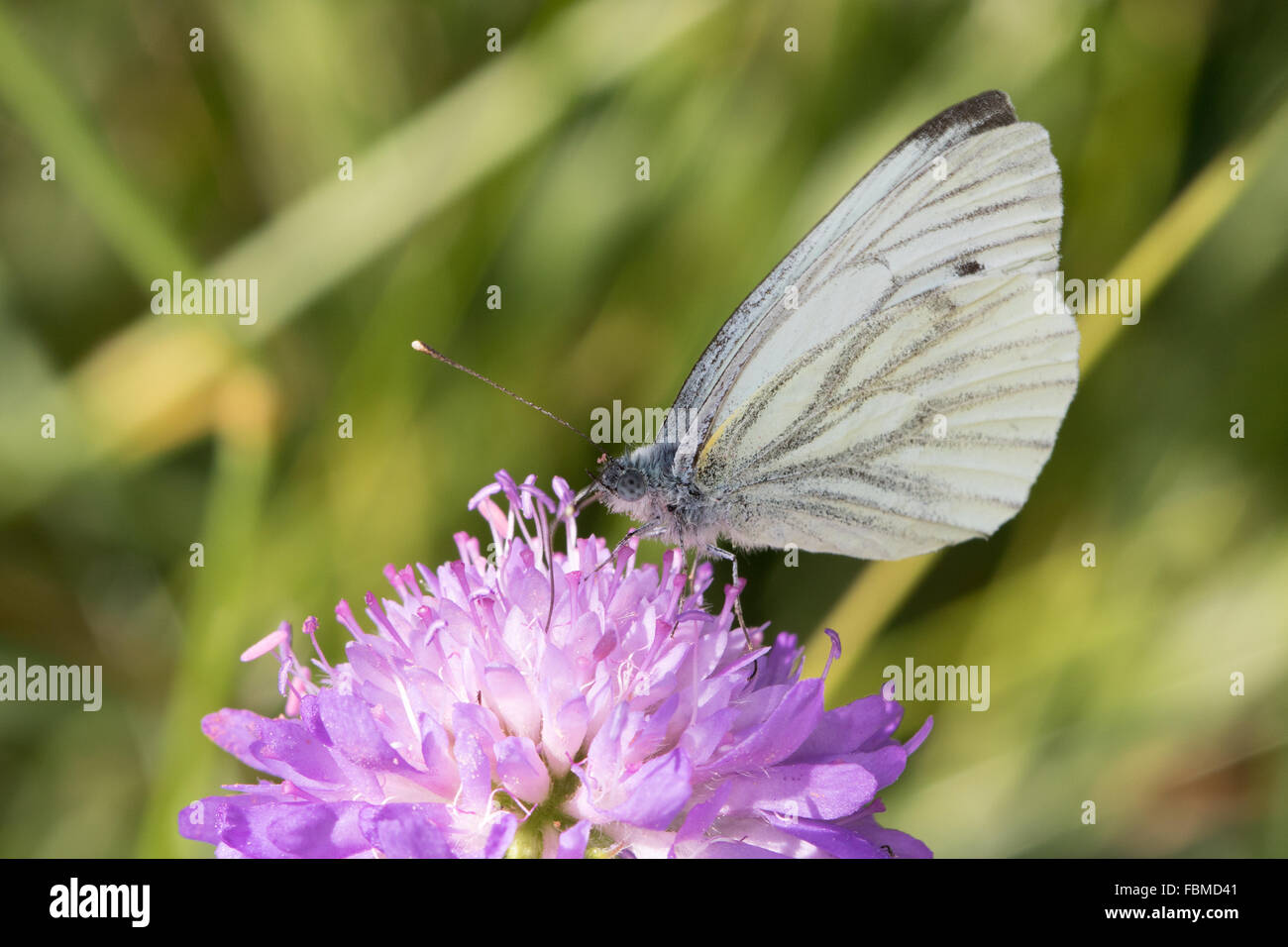 Green-veined White (Pieris napi) butterfly - Stock Image