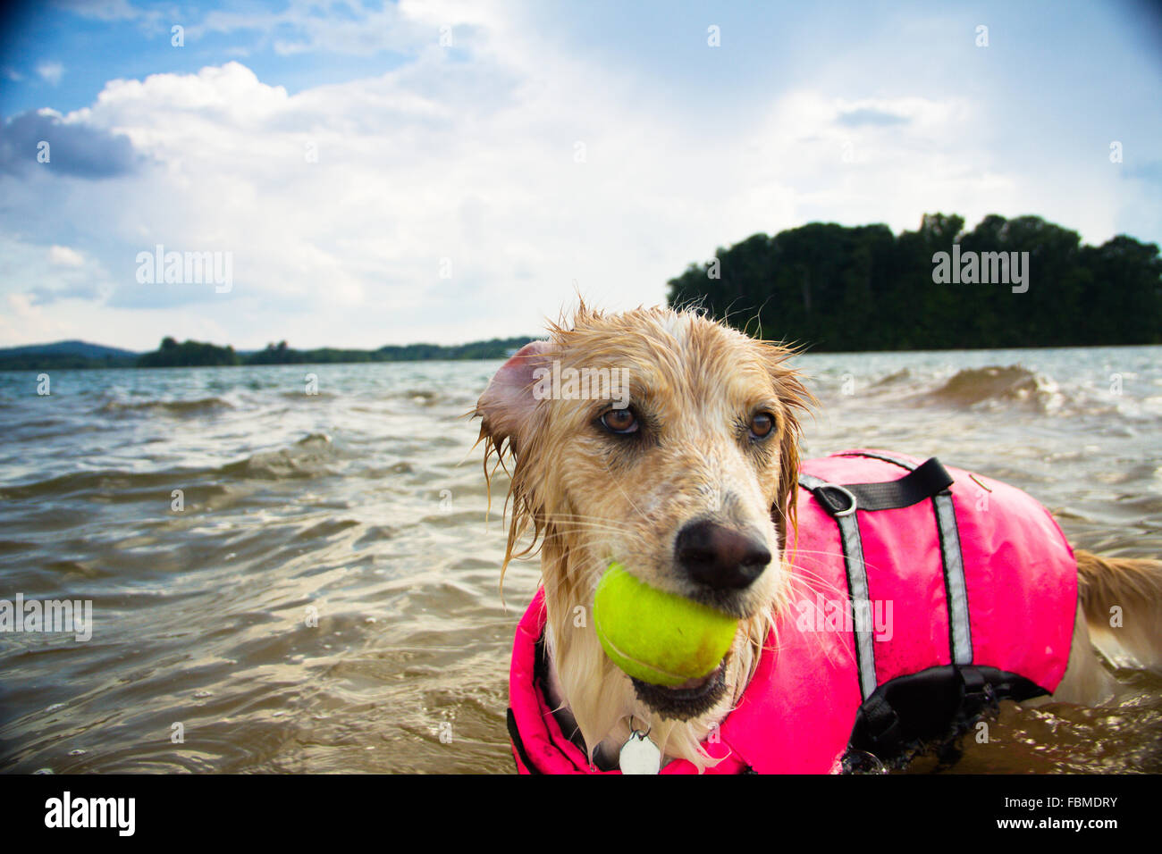 Border collie Dog playing with tennis ball in lake Stock Photo
