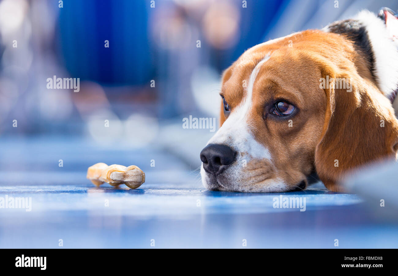 Sad looking beagle Dog with a chew bone - Stock Image