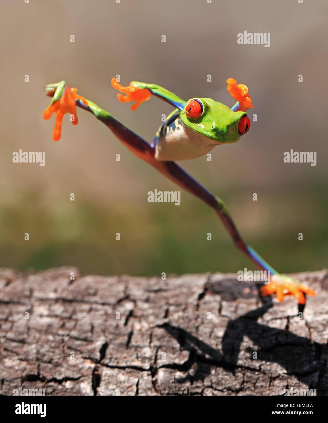 Red eye tree frog (agalychnis callidryas) standing on one leg, Riau Islands, Indonesia - Stock Image