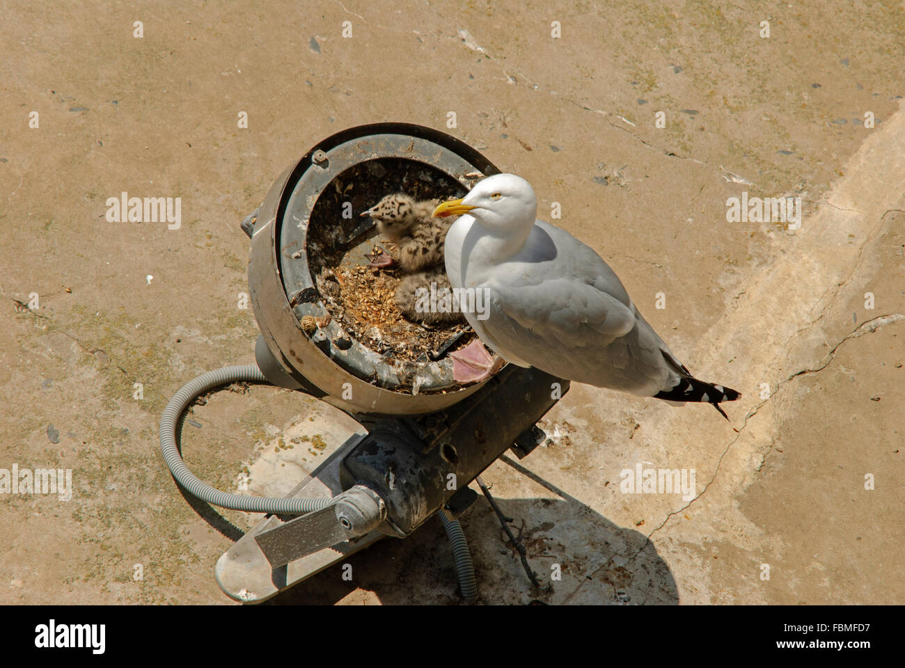 Herring gull watching and protecting its chicks in the nest - Stock Image
