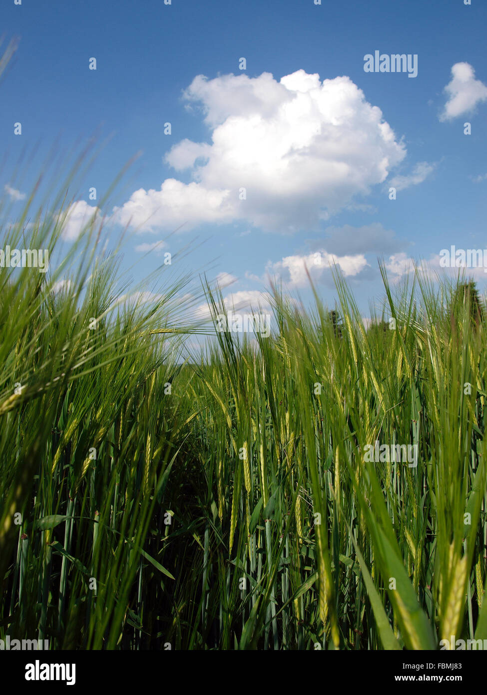 Close-Up Of Grass Against Blue Sky And Clouds - Stock Image