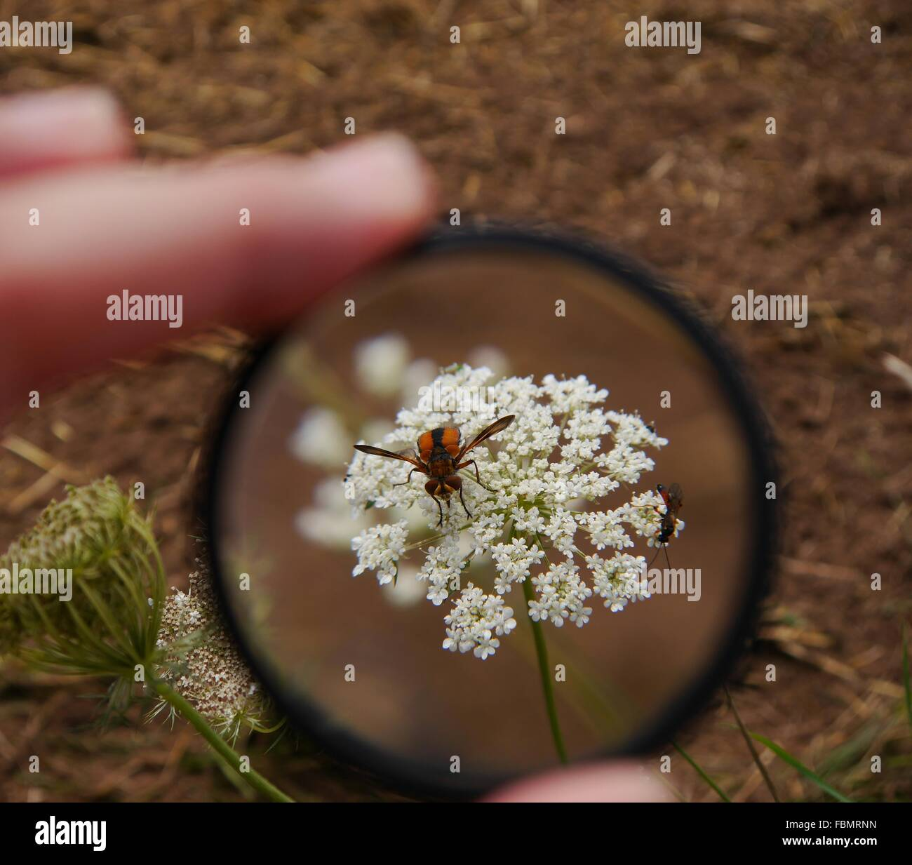 Bees On Flowers Seen Through Magnifying Glass - Stock Image